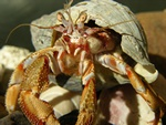 Common hermit crab (Eupagurus bernhardus)